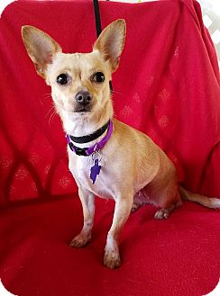 Chihuahua Mix Dog for adoption in Pittsburgh, Pennsylvania - Miami