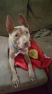 Pit Bull Terrier Mix Dog for adoption in Crown Point, Indiana - Chula