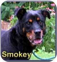 Rottweiler Mix Dog for adoption in Aldie, Virginia - Smokey