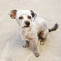 Poodle (Miniature)/Terrier (Unknown Type, Small) Mix Dog for adoption in Rancho Cucamonga, California - Sebastian