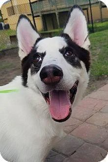 Siberian Husky Puppy for adoption in Clearwater, Florida - Blackjack