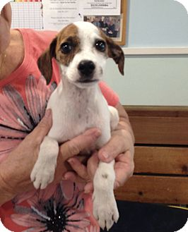 Jack Russell Terrier/Chihuahua Mix Puppy for adoption in Putnam Hall, Florida - LOLA