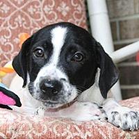 Adopt A Pet :: Neville - Albertville, MN