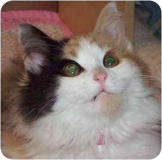 Calico Kitten for adoption in Annapolis, Maryland - Little Darling