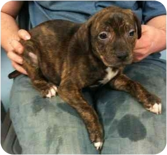 Shepherd (Unknown Type)/Terrier (Unknown Type, Medium) Mix Puppy for adoption in Kansas City, Missouri - Persimmon