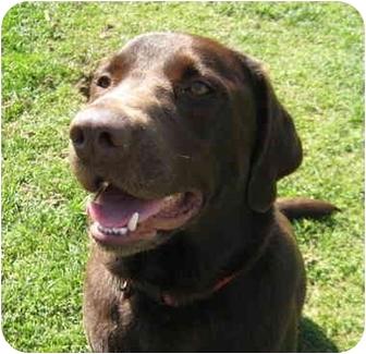 Labrador Retriever Dog for adoption in Bellflower, California - Milo