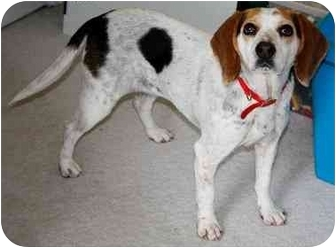 Beagle Dog for adoption in Buffalo, New York - Beautiful Shelby
