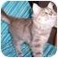 Photo 1 - Domestic Longhair Kitten for adoption in Murphysboro, Illinois - Henley