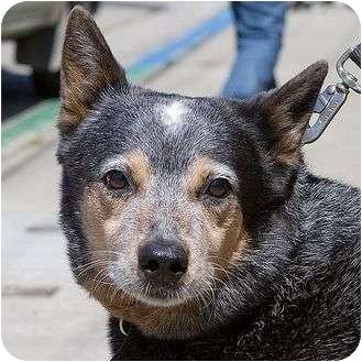 Australian Cattle Dog Dog for adoption in Berkeley, California - Stanley