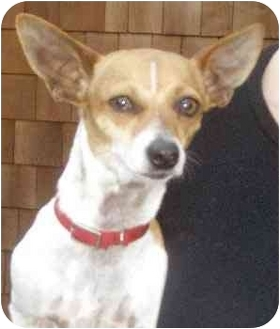 Chihuahua Mix Dog for adoption in El Segundo, California - Wendy