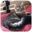 Photo 1 - Maine Coon Cat for adoption in El Cajon, California - Spike