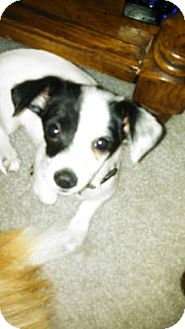 Pomeranian/Chihuahua Mix Puppy for adoption in Las Vegas, Nevada - Stripe