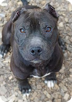 Pit Bull Terrier Mix Puppy for adoption in Reisterstown, Maryland - Oscar