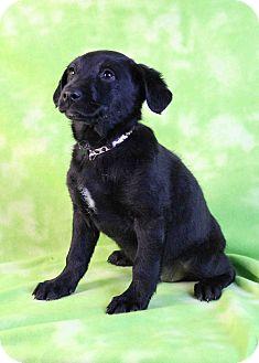 Labrador Retriever/Border Collie Mix Puppy for adoption in Westminster, Colorado - Veracruz