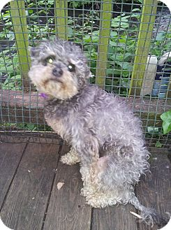Poodle (Miniature)/Schnauzer (Miniature) Mix Dog for adoption in Salem, Oregon - Chewy