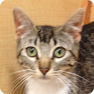 Domestic Shorthair Cat for adoption in Weatherford, Texas - Tina