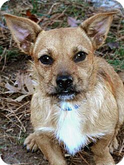 Cairn Terrier Mix Dog for adoption in Salem, New Hampshire - GIDEON