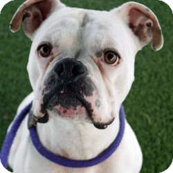 Boxer Mix Dog for adoption in Eatontown, New Jersey - Toby