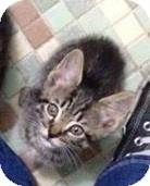 Domestic Shorthair Kitten for adoption in Gainesville, Florida - Wednesday