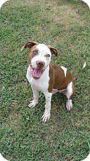 Boxer/Spaniel (Unknown Type) Mix Dog for adoption in HARRISBURG, Pennsylvania - GENO