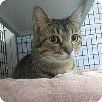 Domestic Shorthair Cat for adoption in Janesville, Wisconsin - Nairobi