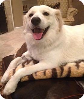 Golden Retriever Mix Dog for adoption in BIRMINGHAM, Alabama - Nate