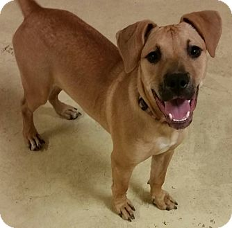 Boxer/American Pit Bull Terrier Mix Puppy for adoption in Struthers, Ohio - Cara  6 MTHS OLD