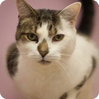 Domestic Shorthair Cat for adoption in Circleville, Ohio - Lovey