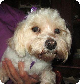 Maltese/Toy Poodle Mix Dog for adoption in Waldron, Arkansas - LANA BARKLEY
