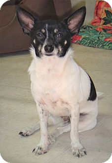 Chihuahua Mix Puppy for adoption in Tavares, Florida - Max