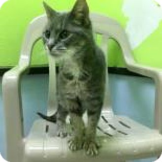 Domestic Shorthair Cat for adoption in Janesville, Wisconsin - Vicky Vallencourt