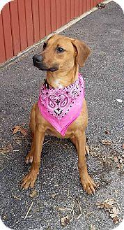 Boxer/Plott Hound Mix Dog for adoption in Wapakoneta, Ohio - Tahli