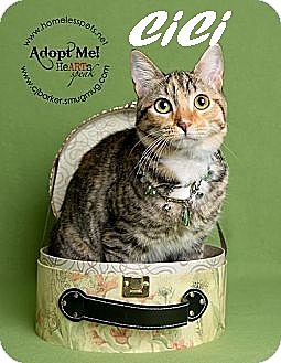 Domestic Shorthair Cat for adoption in Houston, Texas - Cici