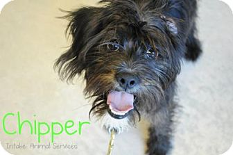 Terrier (Unknown Type, Small) Mix Puppy for adoption in Hamilton, Ontario - Chipper
