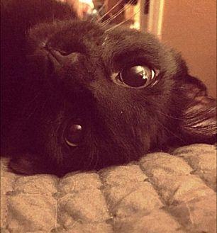 Bombay Kitten for adoption in Houston, Texas - Huey