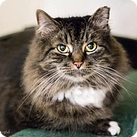 Domestic Longhair Cat for adoption in Naugatuck, Connecticut - Bette