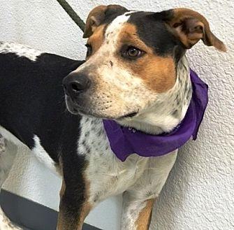 Blue Heeler Mix Dog for adoption in Casa Grande, Arizona - Rueger