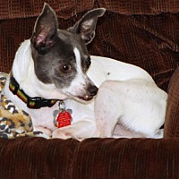 Rat Terrier Dog for adoption in Atlanta, Georgia - BlueBelle (GA)