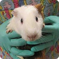 Adopt A Pet :: *Urgent* Rose - Fullerton, CA