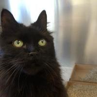 Adopt A Pet :: Secret Agent Purrkins - Toronto, ON