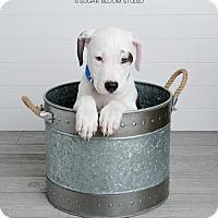 Staffordshire Bull Terrier Mix Puppy for adoption in Denver, Colorado - Otto