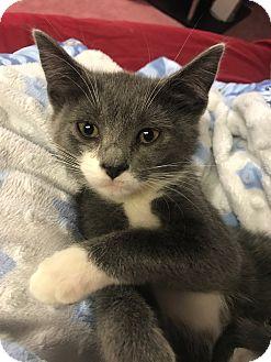 Domestic Shorthair Kitten for adoption in Media, Pennsylvania - Rocky
