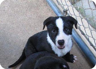 Labrador Retriever/Border Collie Mix Puppy for adoption in Portland, Maine - HANK