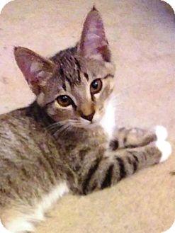 Domestic Shorthair Cat for adoption in South Saint Paul, Minnesota - Mario