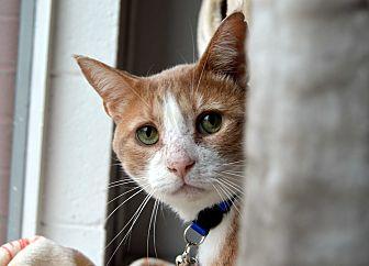 Domestic Shorthair Cat for adoption in Richmond, Virginia - Gus