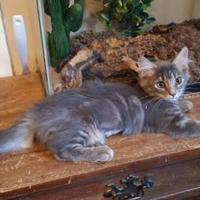 Adopt A Pet :: MINI MUFFIN - Mesa, AZ