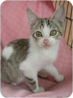 Domestic Shorthair Kitten for adoption in Fort Lauderdale, Florida - Cinco
