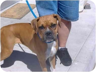 Boxer Dog for adoption in Reno, Nevada - Pebbles