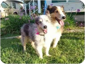 Sheltie, Shetland Sheepdog Dog for adoption in San Diego, California - Lilly & Morty