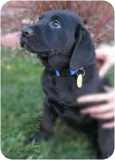 Labrador Retriever Mix Puppy for adoption in Evergreen, Colorado - Tabernash